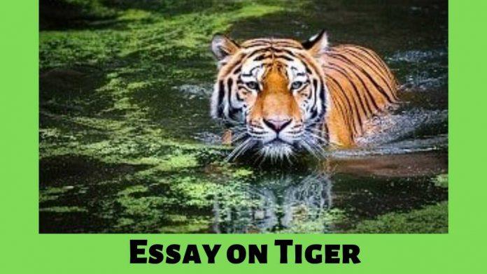 Essay on Tiger